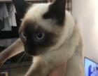自家暹罗猫生的小猫