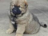 昆明哪有高加索犬卖 昆明高加索犬价格 昆明高加索犬多少钱