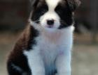 白沙什么地方有狗场卖宠物狗/白沙哪里有卖边境牧羊犬
