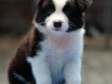 襄樊什么地方有狗场卖宠物狗/襄樊哪里有卖边境牧羊犬