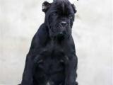 北京宣武出售純種卡斯幼犬多少錢一只