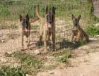 哪里有卖马犬的 马犬多少钱一只