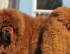高贵气质,王者风范,纯种大狮头藏獒 实物照片