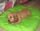 重庆养殖基地直销可卡犬及其它幼犬 签协议 送用品