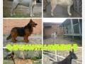 杜高犬 狼青犬 马犬 卡斯罗犬 比特犬 莱州红犬 苏联红犬