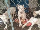 楚雄有没有肉狗养殖场大型肉狗品种和价格