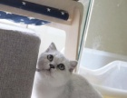 咕噜咕噜猫咪生活馆英短渐层出售