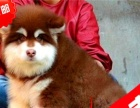 正规狗场黑十字架脸大骨量大毛量的赛级阿拉斯加出售