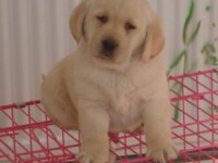 大头高品质拉布拉多幼犬出售健康纯正 好血统多只挑选