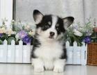 柯基犬专业繁殖 可基地挑选 签协议包健康 送用品
