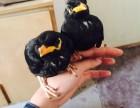 出售正宗越南鷯哥 和尚鸚鵡 金剛鸚鵡 灰機 葵花鸚鵡