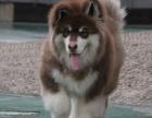 大骨量 毛量足 帅气十足的阿拉斯加雪橇犬 三色可选