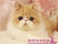 北京波斯猫 长毛波斯猫 白波斯猫 黄波斯蓝眼睛(包纯种健康)