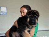 家养活体宠物狗狗 纯种大锤系德国牧羊犬 狼狗德牧黑背幼犬出售