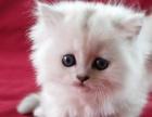 昆明哪里有宠物猫出售,昆明哪里有卖纯种金吉拉价格