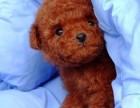 良心生意只做最健康最好品质玩具体茶杯体泰迪犬