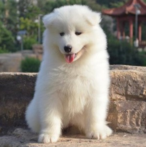 重庆繁殖基地出售萨摩耶幼犬 包纯种健康 养活