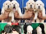 专业繁殖拉布拉多犬 犬舍直销血统健康均有保障三年保活