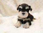 纯血统黑银色椒盐色雪纳瑞幼犬 可免费送货到家挑