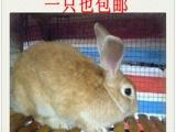 纯野兔 内蒙野兔 赛场野兔 狗撵野兔 兔子 野味