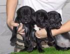 盛诚犬业十多年的养殖经验 养殖纯种卡斯罗幼犬 当面测试交易