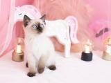 北京宣武双血统暹罗猫低价出售