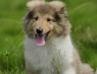 cku注册犬舍 双血统苏格兰牧羊犬可上门挑选