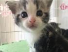银渐层幼猫银渐层猫英国猫幼崽渐层猫短毛猫