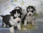 沈阳出售纯种健康哈士奇犬幼犬包健康签协议