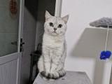 貓咪配種銀漸層