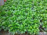 光明公明松岗沙井石岩大浪专业绿植租摆,绿化养护,大型花木场