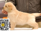 哪里有卖金毛犬金毛犬多少钱金毛犬图片金毛犬幼犬