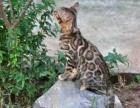 大福豹TICA专业繁育精品孟加拉豹猫英短银点