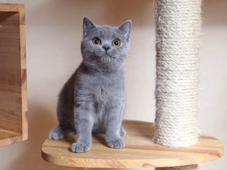 出售纯种英国蓝猫 生性乖巧聪明品相非常漂亮可爱