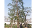 中山苗木价格优惠,专业出售优质树苗