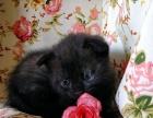 英国短毛猫黑猫蓝猫折耳猫宝宝