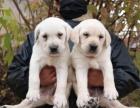 北京出售 拉布拉多幼犬 纯种健康保障 疫苗驱虫已做 签协议