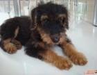 犬舍出售纯种 梗王-万能梗犬 凯利蓝梗凯丽兰梗犬