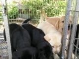 诚心卖;拉布拉多幼犬,非诚勿扰