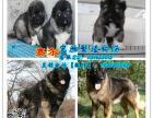 纯种高加索犬养殖场 广州哪里有卖高加索犬 疫苗驱虫齐全保健康