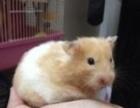 出家养仓鼠,松鼠,金丝熊,荷兰猪