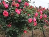 南阳树桩月季 花球造型月季 南阳中旺锦茂月季种植有限公司