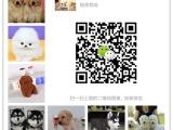 山东最大狗场一直销各种世界名犬一视频选狗支持发货