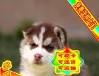 正规狗场繁殖纯种【哈士奇】、多窝可挑选、种公配种