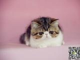 最棒的波斯猫在这 他们都选这家 精品虎斑 有口皆碑
