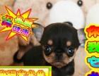 出售纯种健康 吉娃娃狗狗,全国各地欢迎上门挑选