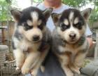 精品宠物繁殖基地长期出售哈士奇幼犬 保证品质健康