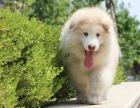 大骨量熊版阿拉斯加犬 血统纯正可签协议包活可送货