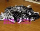 美国短毛猫 自家繁殖虎斑猫幼崽 立耳折耳虎斑猫宝宝