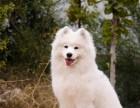双眼皮品相好澳版品相的上海萨摩耶幼犬 签订购犬协议